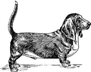 Bassett dog
